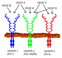 Vascular endothelial growth factor - Wikipedia