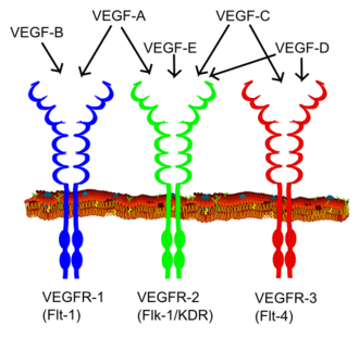 Vascular endothelial growth factor - Image: VEGF receptors