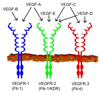 VEGF receptor - Image: VEGF receptors