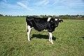 Vache à proximité du Fort Bachin.jpg
