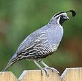 Valley quail myatt (5489811278) (cropped).jpg