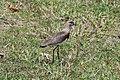 Vanellus chilensis (30037662964).jpg