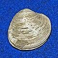 Veneridae - Venus nux.JPG