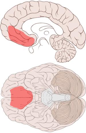Ventromedial prefrontal cortex - Image: Ventromedial prefrontal cortex