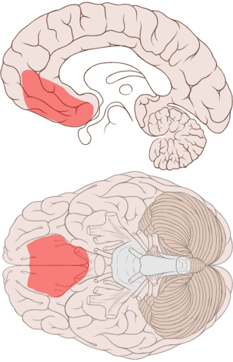 Ventromedial prefrontal cortex - Ventromedial prefrontal cortex shown on medial and ventral views of the brain, reflecting approximate location of damage in patients with decision making deficits.