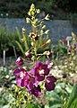 Verbascum phoeniceum kz05.jpg