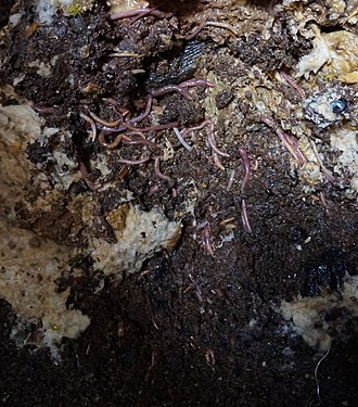 Vermifilter - Domestic sewage vermifilter showing accumulated contents (composting worms exposed)