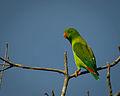 Vernal Hanging Parrot.jpg