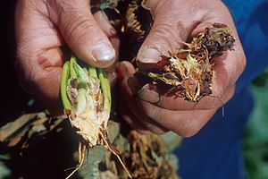Verticillium wilt - Healthy strawberry plant (left) and strawberry plant infected with verticillium wilt (right), photo by Howard F. Schwartz, Colorado State University, Bugwood.org