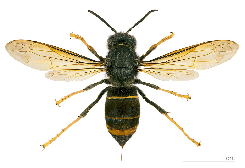 Vespa velutina nigrithorax MHNT dos.jpg