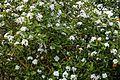 Viburnum × burkwoodii in Hilltop Garden at RHS Garden Hyde Hall, Essex, England 01.jpg