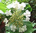 Viburnum opulus, Guelder-rose with sterile flowers.jpg
