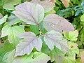 Viburnum opulus. Piernu (detalles fueyes serondiegas).jpg