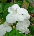 Viburnum plicatum Summer Snowflake 2.jpg