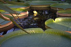 Riesenseerose Victoria im Botanischen Garten der TU Dresden