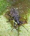 Vine Weevil. Otiorhynchus sulcatus - Flickr - gailhampshire.jpg