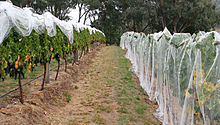 A vineyard with bird-netting.