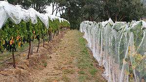 Vineyard - A vineyard with bird-netting.