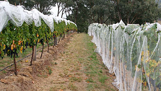 Vineyard - A vineyard with bird-netting