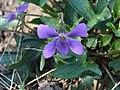 Viola palmata a2.jpg