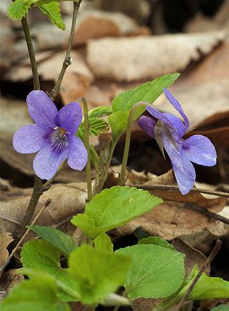 Viola (plant) - Viola reichenbachiana