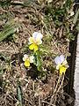 Viola tricolor ssp subalpina 001.jpg