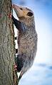 Virginia Opossum (Didelphis virginiana) (16125029514).jpg