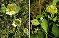 Viscainoa geniculata, flowers and pod. (10584221206).jpg