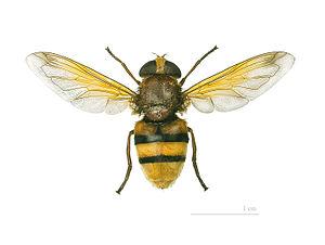 Volucella zonaria - Volucella zonaria - Museum specimen