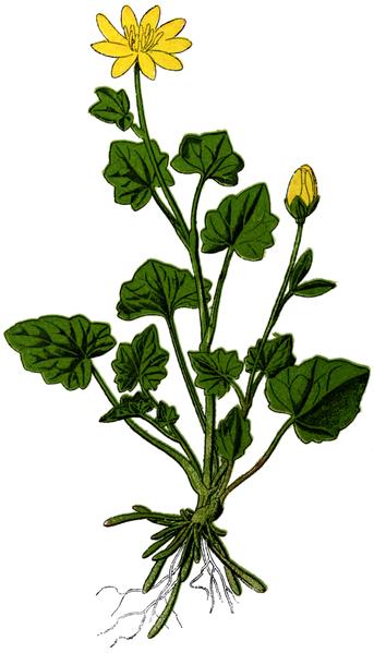 File:WWB-0022-006-Ranunculus ficaria-crop.png