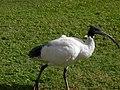 Walking ibis.jpg