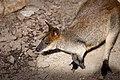 Wallabia bicolor -Toronto Zoo, Ontario, Canada-8b.jpg