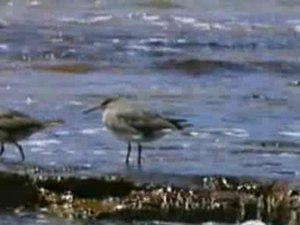File:Wandering Tattler Pt Cartwright.ogv