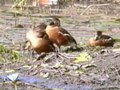 Payl:Wandering Whistling Duck96.ogv