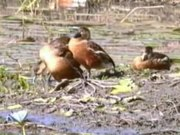 File:Wandering Whistling Duck96.ogv