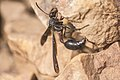 Wasp (Black) (Ghana) African Insect.jpg