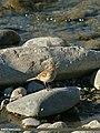 Water Pipit (Anthus spinoletta) (24634758772).jpg