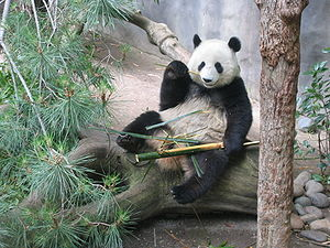 Giant panda at the San Diego Zoo