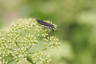 Weevil Superfamily of beetles