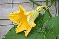 Weibliche Kürbisblüte - Flickr - blumenbiene.jpg