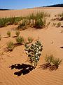 Welsh milkweed (Asclepias welshii) Habitat (6307382808).jpg