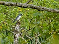 White-breasted Wood Swallow (Artamus leucorhynchus) (8127688230).jpg