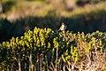 White-crowned sparrow (37585447165).jpg
