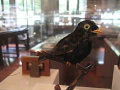 White-eyed River Martin at Chulalongkorn University Natural History Museum.JPG