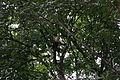 White-faced Capuchin (Cebus capucinus) (5537457838).jpg