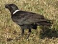 White-necked Raven Corvus albicollis Tanzania 3884 cropped Nevit.jpg