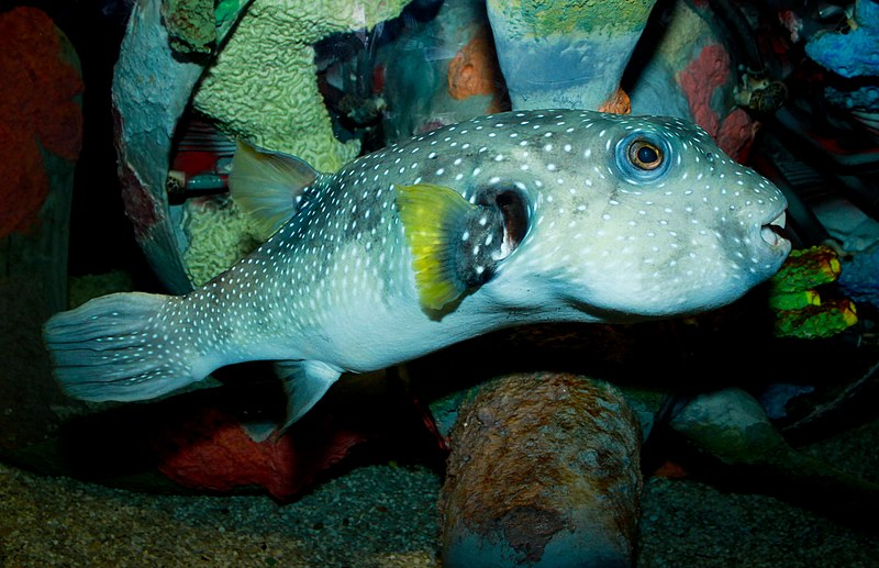 File:White-spotted puffer (1).jpg