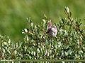 White-tailed Rubythroat (Luscinia pectoralis) (38592403112).jpg