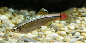 Description de l'image White_Cloud_Mountain_Minnow_1.jpg.