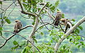 White Headed Babblers.JPG